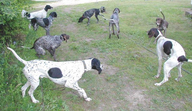 greyhound pointer cross