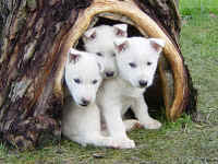 IMAGE(http://www.sleddogcentral.com/fun_photos/reebooks_kennel_puppies_small.jpg)