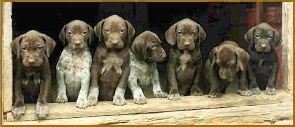 Cute seven German Shorthaired Pointer puppies ready to play