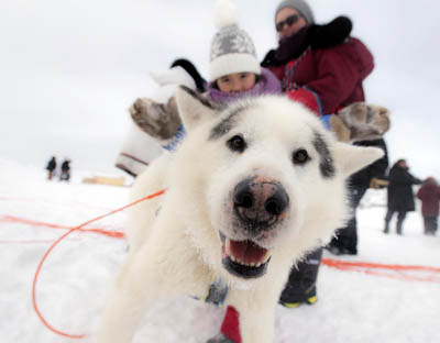 This sled dog gets some attention at the finish line in Ivujivik this past weekend, after racing 800 kilometres up the Hudson coast over the last three weeks.