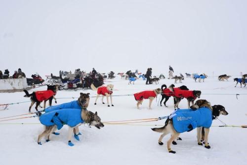 A dozen dog teams line up for the mass start to the 2021 Kobuk 440 Sled Dog Race. (Photo by Berett Wilber, KOTZ-Kotzebue)