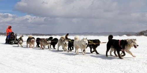 Operator of ExxonMobil-led Sakhalin 1 oil and gas development commits to local initiative to restore sled dog numbers