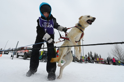 Arien Sanderson, 11, hooks up Bailey to the gangline before she won the 3-dog class during the Alaskan Sled Dog and Racing Association Junior World Championships at Tozier Track on Sunday, Feb. 21, 2021. (Bill Roth / ADN)