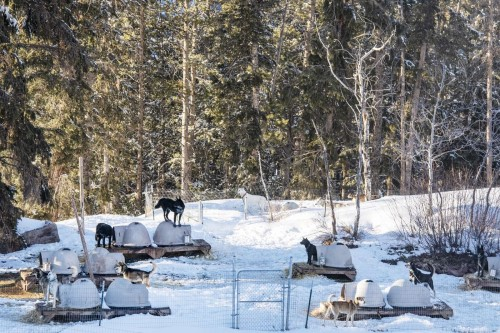 Krabloonik Dog Sledding dogs lounge in the yard in Snowmass on Tuesday, March 23, 2021. (Kelsey Brunner/The Aspen Times)