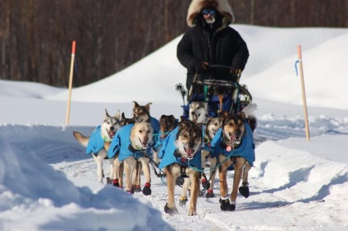 """La Center graduate Joshua McNeal recently completed his rookie Iditarod. The former Wildcat started training for the 2021 Iditarod in August of last year with dogs he raised at his kennel in Fairbanks, Alaska. The 832-mile trek took McNeal a total of nine days, 16 hours and seven minutes and after crossing the finish line, McNeal said he had a """"proud dad moment"""" when looking at his dogs. Photo by Susan Smith of Takotna, Alaska"""