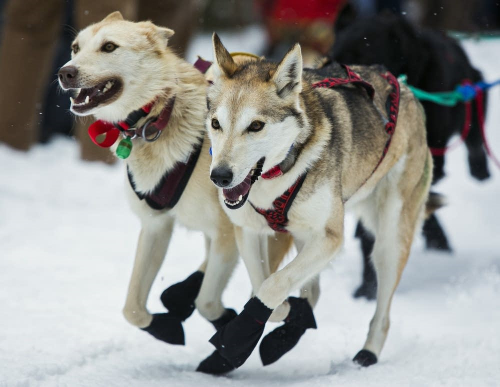 Sled dogs take off at the start of the 2015 John Beargrease Sled Dog Marathon in Duluth. On Tuesday, musher Ryan Redington and his team won their second Beargrease title. Derek Montgomery for MPR News 2015