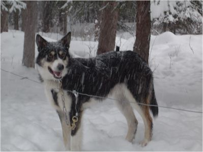 Sled Dog Central A Deeper History Of The Origins Of The Alaskan