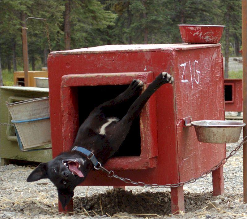 Sled Dog Central Fun Photos Page - Husky homestead